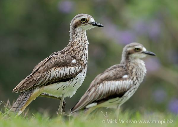 MMPI_20201115_MMPI0064_0009 - Bush Stone-curlew (Burhinus grallarius) pair standing on a lawn.