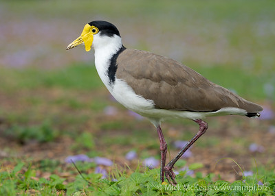 MMPI_20201115_MMPI0064_0015 - Masked Lapwing (Vanellus miles) standing in a garden.