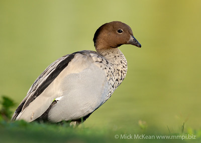 MMPI_20201115_MMPI0064_0001 - Maned Duck (Chenonetta jubata) (male) standing at the edge of a lake.