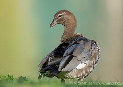 MMPI_20201115_MMPI0064_0002 - Maned Duck (Chenonetta jubata) (female) standing at the edge of a lake.