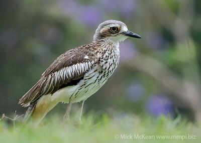 MMPI_20201115_MMPI0064_0010 - Bush Stone-curlew (Burhinus grallarius) standing on a lawn.