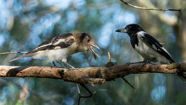 MMPI_20201121_MMPI0064_0004 - Pied Butcherbird (Cracticus nigrogularis) (immature) struggles to swallow a large grasshopper provided by its parent.