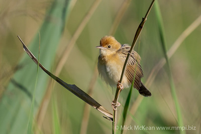 MMPI_20201121_MMPI0064_0007 - Golden-headed Cisticola (Cisticola exilis) (male) perching on a long grass stem.
