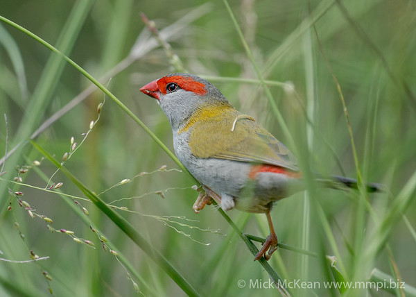 MMPI_20201121_MMPI0064_0022 - Red-browed Finch (Neochmia temporalis) feeding on grass seeds.