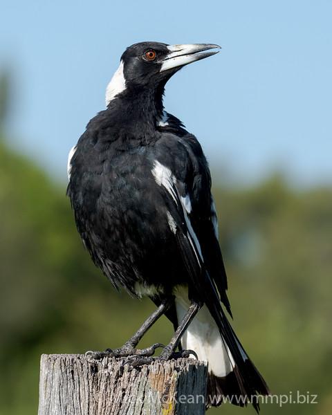 MMPI_20201121_MMPI0064_0011 - Australian Magpie (Gymnorhina tibicen) (male) perching on a rustic fence post.