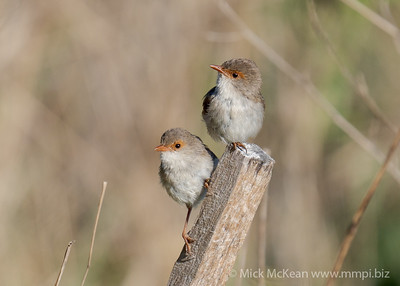MMPI_20201121_MMPI0064_0003 - Superb Fairywren (Malurus cyaneus) pair of females perching on a tree stake. While I watched these females, on two occasions the lower one  mounted the other in what I guess was a fake mating action.