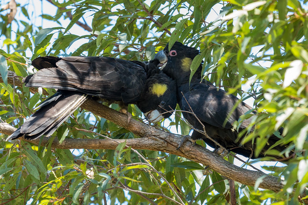 MMPI_20201128_MMPI0064_0027 - Yellow-tailed Black Cockatoo (Calyptorhynchus funereus) pair allopreening in a Eucalypt tree.
