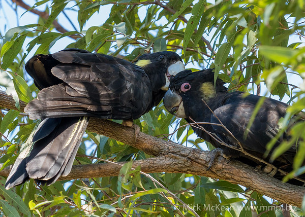 MMPI_20201128_MMPI0064_0029 - Yellow-tailed Black Cockatoo (Calyptorhynchus funereus) pair allopreening in a Eucalypt tree.