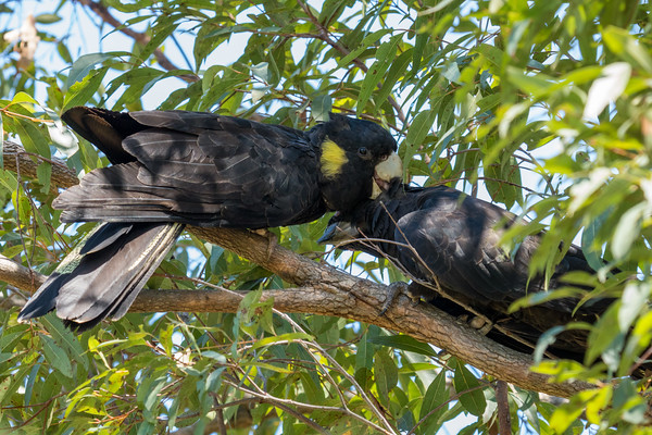 MMPI_20201128_MMPI0064_0028 - Yellow-tailed Black Cockatoo (Calyptorhynchus funereus) pair allopreening in a Eucalypt tree.