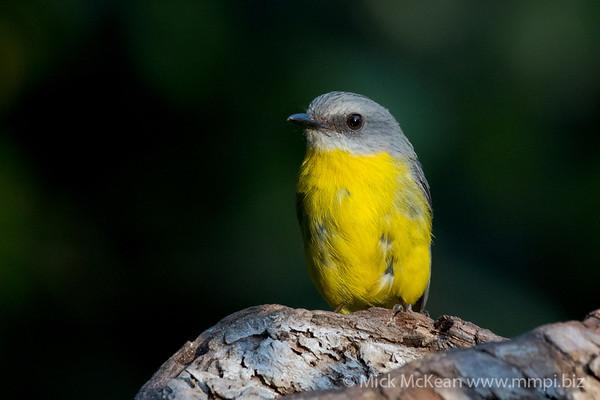 MMPI_20201204_MMPI0064_0029 - Eastern Yellow Robin (Eopsaltria australis) perching on a log.