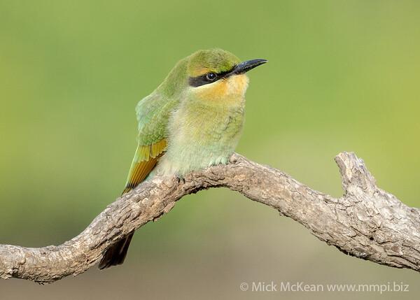 MMPI_20201212_MMPI0064_0006 - Rainbow Bee-eater (Merops ornatus) (immature) perching on a tree branch.