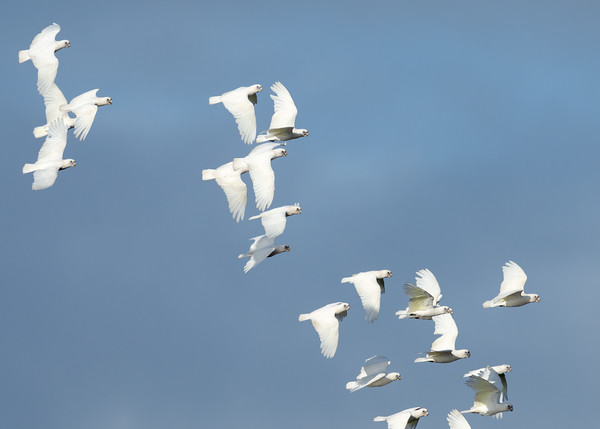 MMPI_20201219_MMPI0064_0014 - Little Corella (Cacatua sanguinea) flock in flight.