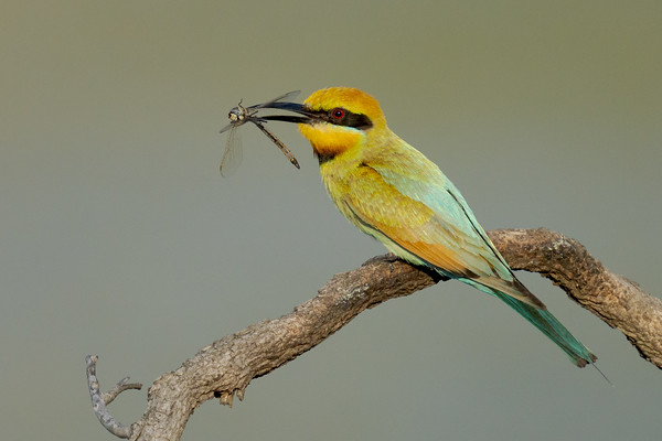 MMPI_20201219_MMPI0064_0016 - Rainbow Bee-eater (Merops ornatus) with Dragonfly catch.