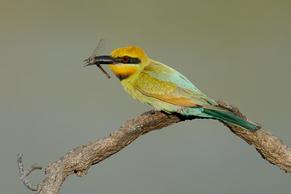 MMPI_20201219_MMPI0064_0015 - Rainbow Bee-eater (Merops ornatus) with Dragonfly catch.