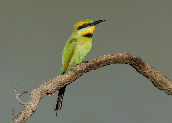MMPI_20201219_MMPI0064_0011 - Rainbow Bee-eater (Merops ornatus) perching on a branch.