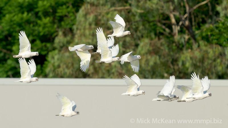 MMPI_20201219_MMPI0064_0013 - Little Corella (Cacatua sanguinea) flock in flight.