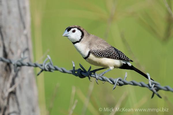 MMPI_20201227_MMPI0064_0014 - Double-barred Finch (Taeniopygia bichenovii) perching on a barbed wire fence.