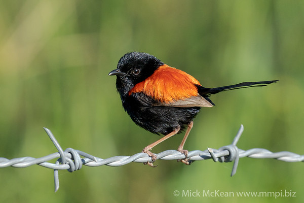 MMPI_20201227_MMPI0064_0004 - Red-backed Fairywren (Malurus melanocephalus) (male) perching on a barbed wire fence.