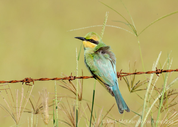 MMPI_20201227_MMPI0064_0011 - Rainbow Bee-eater (Merops ornatus) (immature) on a rusty barbed wire fence.