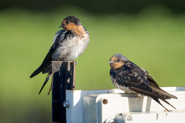 MMPI_20201227_MMPI0064_0005 - Welcome Swallow (Hirundo neoxena) (pair) perching on an environmental measuring instrument.