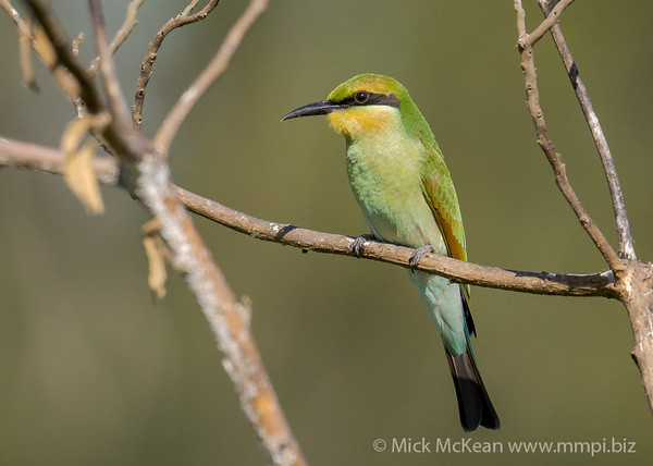 MMPI_20201227_MMPI0064_0013 - Rainbow Bee-eater (Merops ornatus) (immature) perching in a shrub.