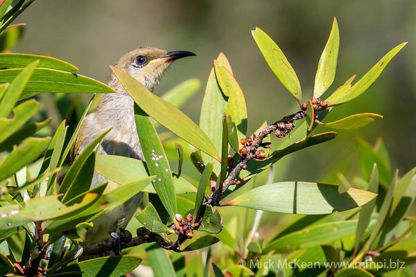 MMPI_20201227_MMPI0064_0003 - Brown Honeyeater (Lichmera indistincta) perching in a Melaleuca shrub.