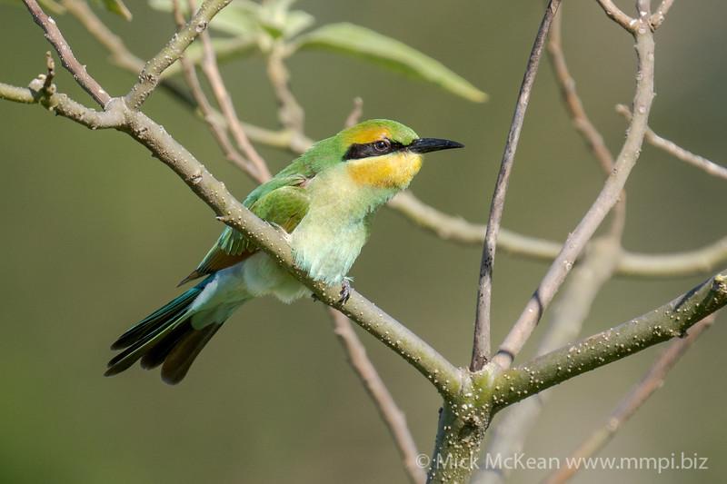 MMPI_20201227_MMPI0064_0012 - Rainbow Bee-eater (Merops ornatus) (immature) perching in a shrub.