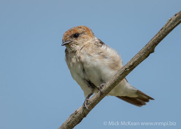 MMPI_20210130_MMPI0076_0017 - Fairy Martin (Petrochelidon ariel) perching on a branch.