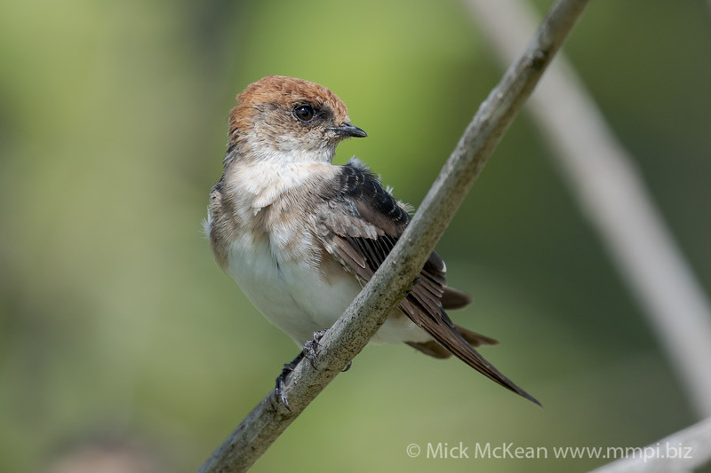 MMPI_20210130_MMPI0076_0020 - Fairy Martin (Petrochelidon ariel) perching on a branch.