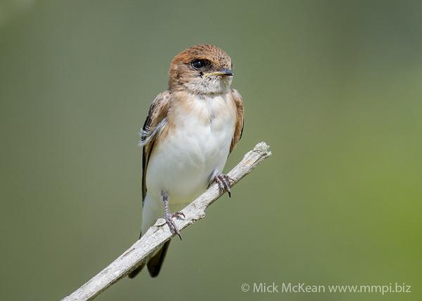 MMPI_20210130_MMPI0076_0021 - Fairy Martin (Petrochelidon ariel) perching on a branch.