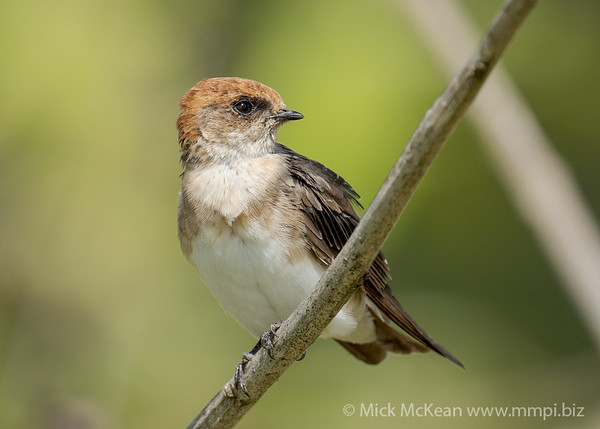 MMPI_20210130_MMPI0076_0018 - Fairy Martin (Petrochelidon ariel) perching on a branch.