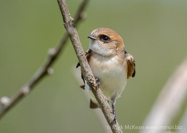 MMPI_20210130_MMPI0076_0023 - Fairy Martin (Petrochelidon ariel) perching on a branch.