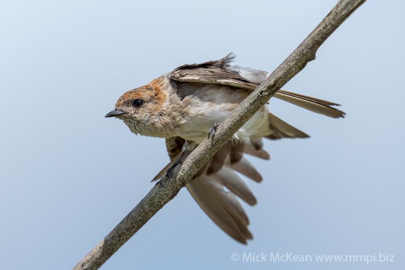 MMPI_20210130_MMPI0076_0024 - Fairy Martin (Petrochelidon ariel) doing a handstand on a branch.