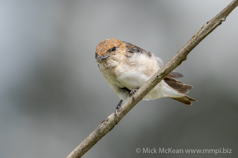 MMPI_20210130_MMPI0076_0015 - Fairy Martin (Petrochelidon ariel) perching on a branch.