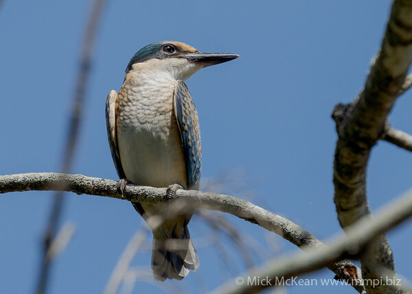 _7R45311 - Sacred Kingfisher (Todiramphus sanctus) (immature) in a tree.