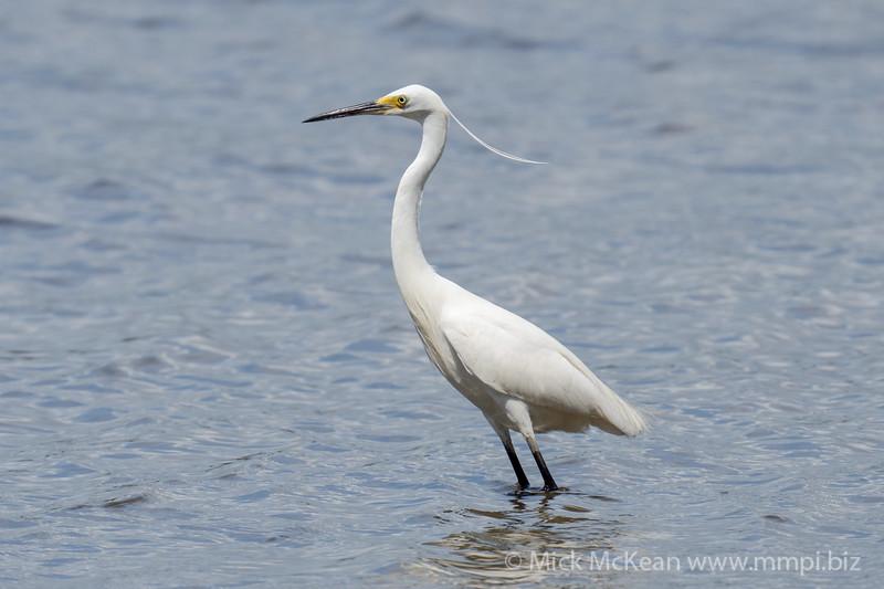 _7R45416 - Little Egret (Egretta garzetta) with breeding plumage wading in river shallows.