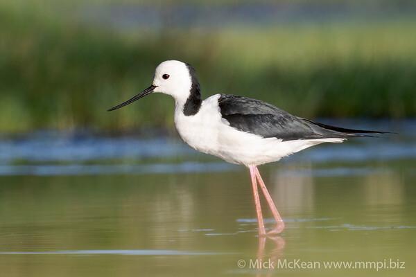_7R44984 - Pied Stilt (Himantopus leucocephalus) wading on a lagoon.