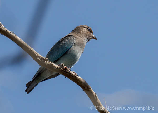 _7R45206 - Oriental Dollarbird (Eurystomus orientalis) (immature) in a tree.