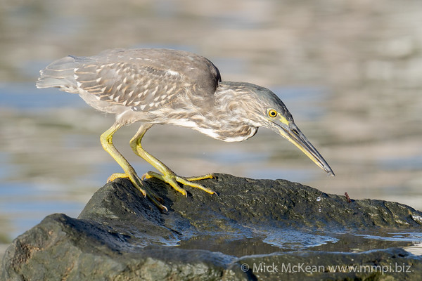 _7R45026 - Striated Heron (Butorides striata) catching a tiny shrimp from a pool on a rock.