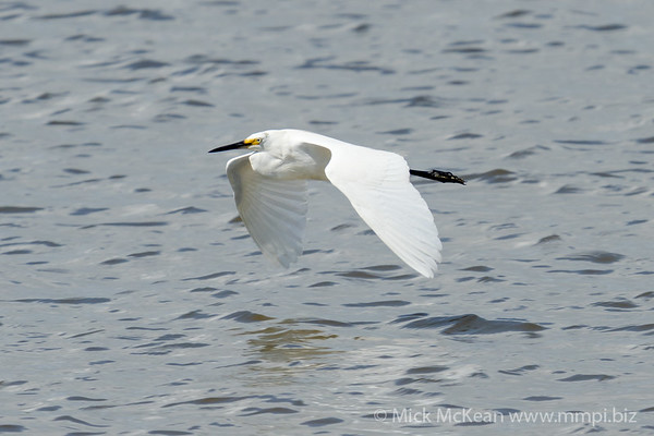_7R45297 - Little Egret (Egretta garzetta) in flight above a river.