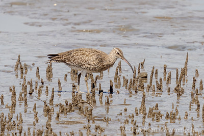 _7R45305 - Whimbrel (Numenius phaeopus) on the hunt for crustaceans on a mudflat.