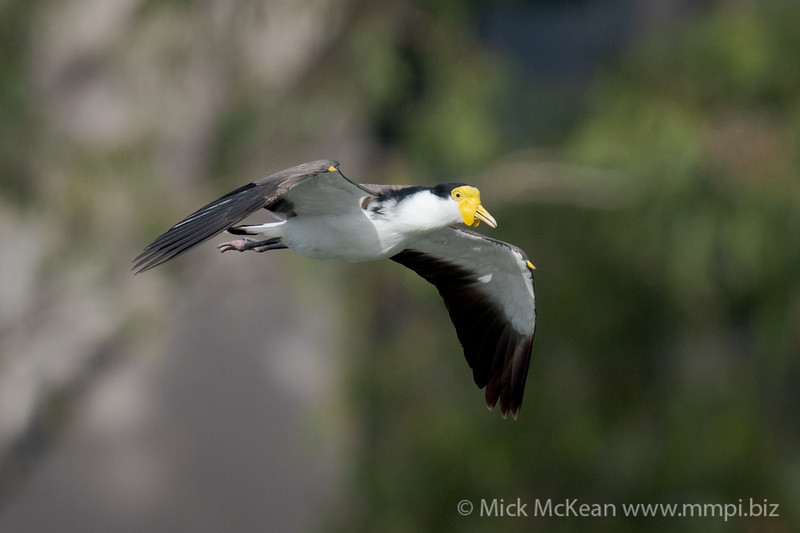 _7R45802 - Masked Lapwing (Vanellus miles) in flight.