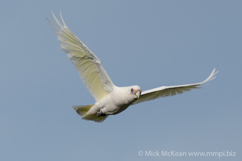 _7R45789 - Little Corella (Cacatua sanguinea) in flight.