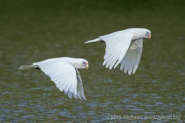_7R46029 - Little Corella (Cacatua sanguinea) pair in flight.
