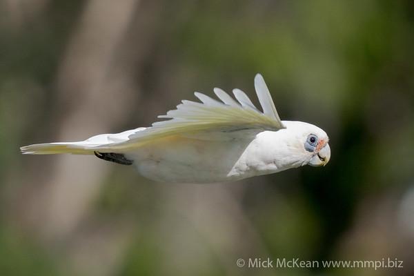 _7R46092 - Little Corella (Cacatua sanguinea) in flight.