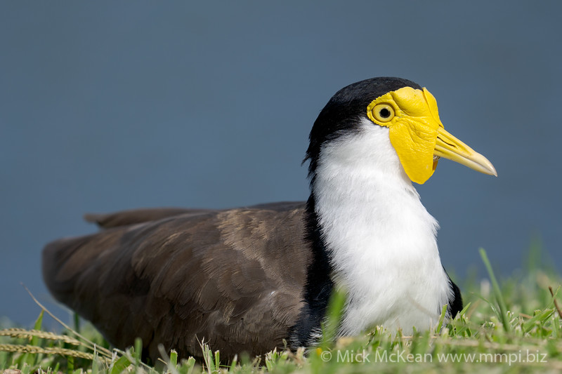 _7R45891 - Masked Lapwing (Vanellus miles) sitting on a lawn at the edge of a lake. It is on alert after hearing another bird's call.