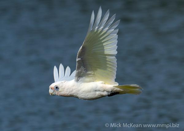 _7R45965 - Little Corella (Cacatua sanguinea) in flight.
