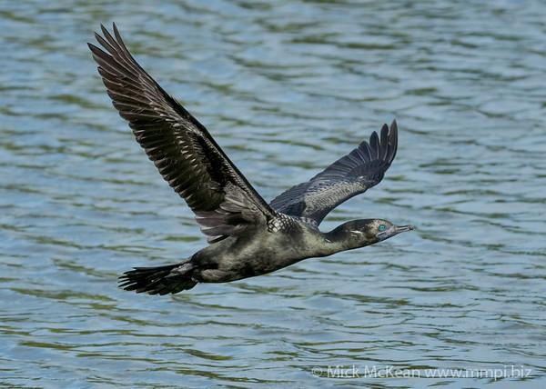 _7R45901 - Little Black Cormorant (Phalacrocorax sulcirostris) flying low above a lake.