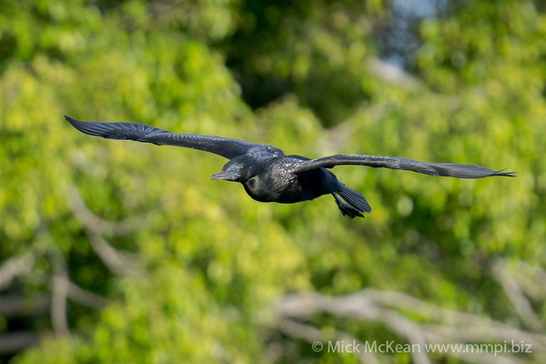 _7R45648 - Little Black Cormorant (Phalacrocorax sulcirostris) in flight.