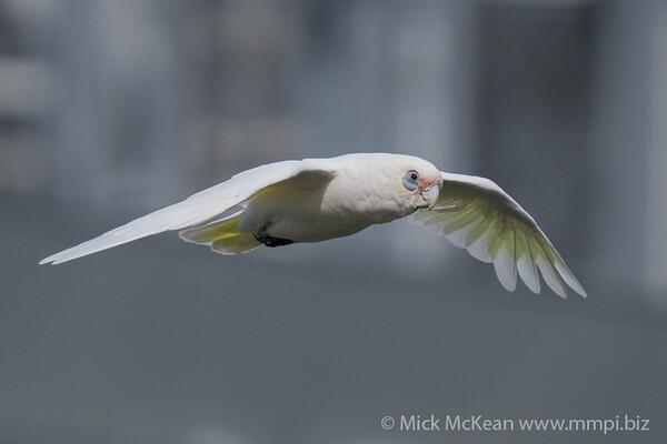 _7R46011 - Little Corella (Cacatua sanguinea) in flight.